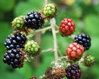 Berries at different stages. Royalty Free Stock Image