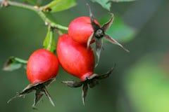 Berries of dog rose Stock Photo
