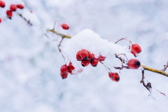 Berries of dog rose covered with snow Stock Photo