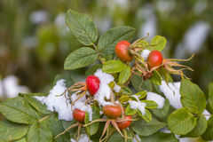 Berries of dog-rose with snow. Red berries of dog-snow with green leaves and snow Royalty Free Stock Photography