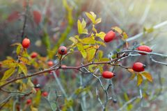 Berries of a dogrose on a bush. Fruits of wild roses stock photos