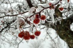 Berries encrusted in ice after freesing rain. A layer of ice coats the berries and branches of crabapple tree after an ice storm Stock Photo