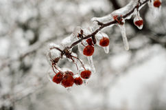 Berries encrusted in ice after freesing rain. A layer of ice coats the berries and branches of crabapple tree after an ice storm Royalty Free Stock Photography