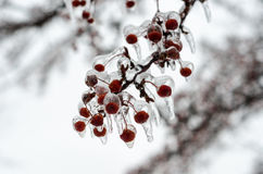 Berries encrusted in ice after freesing rain. A layer of ice coats the berries and branches of crabapple tree after an ice storm Royalty Free Stock Image