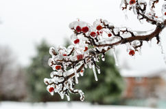 Berries encrusted in ice after freesing rain. A layer of ice coats the berries and branches of crabapple tree after an ice storm Royalty Free Stock Photos