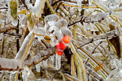 Berries encrusted in ice after freesing rain. A layer of ice coats the leaves and berries after an ice storm Stock Photo