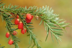 Berries of the European yew   taxus baccata Royalty Free Stock Photos