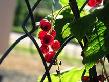 Berries. In everyday language, a berry is a small, pulpy and often edible fruit Royalty Free Stock Images