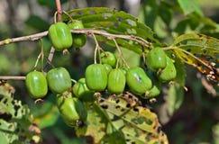 Berries of Far-East 13 Stock Photos