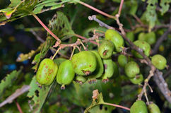 Berries of Far-East 17 Royalty Free Stock Photo