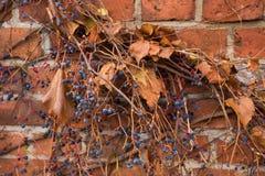 Berries on the fence. Blue berries on the fence Stock Photos