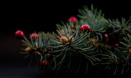 Berries with fir Royalty Free Stock Photography
