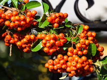 Berries of the fire thorn bush Stock Photo