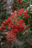 Berries of Firethorn Bush Stock Image