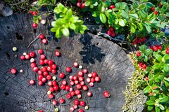 Berries of forest cranberries on a stump.n Stock Photography