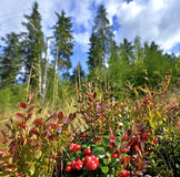 Berries in the forest. Stock Image