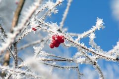 Berries in the Frost. A couple of red berries on a frosted branch in winter stock images