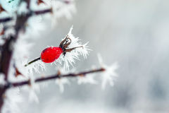 Berries with  frost Stock Photography