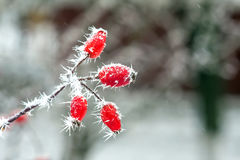 Berries with  frost Royalty Free Stock Photography