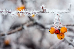 Berries with  frost Royalty Free Stock Images