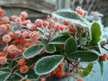 Berries on a Frosted Day stock image