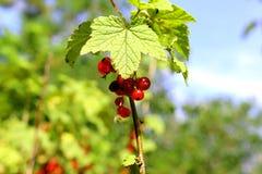 Berries in the garden Stock Photography