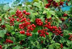 Berries in garden Stock Photos