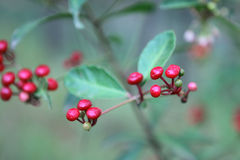 Berries of ginseng. Berries of a ripening ginseng. Vietnam Royalty Free Stock Photography