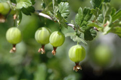 Berries of a gooseberry. Berries of a green gooseberry on a branch Royalty Free Stock Image