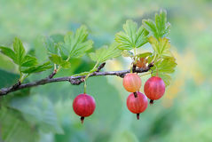 Gooseberry on branch Stock Photography