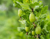 Berries of the gooseberry on branch. Berries of the gooseberry grow on green branch in year garden Royalty Free Stock Images