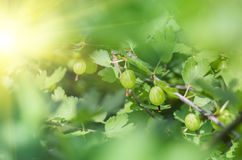Berries gooseberry growing on a branch of bush Stock Image