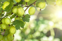 Berries gooseberry growing on a branch of bush Royalty Free Stock Images