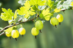 Berries gooseberry growing on a branch of bush Stock Photography