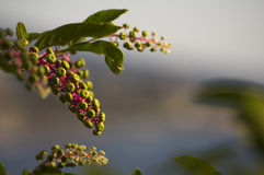 Berries of green. Bunches of green berries with the Adriatic sea on the background Stock Photography