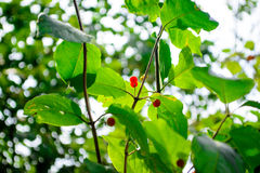 Berries on a green bush. Wolfberry. poisonous berries. Royalty Free Stock Photography