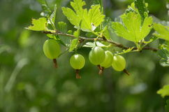 Berries green gooseberries on blurry green background Stock Image