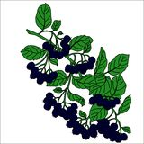 Berries and green leaves isolated. Berries and green leaves of black rowan on a white background. Vector illustration. Black Royalty Free Stock Photos