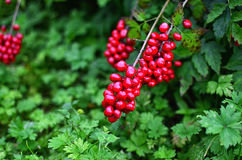 Berries Growing on a Bush. Close Up shot of berries hanging from a bush Royalty Free Stock Photos