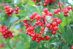 Berries of a guelder-rose Stock Photo