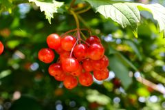 Berries guelder rose Royalty Free Stock Photo