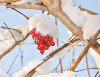 Berries of a guelder-rose under a snow. Berries of a guelder-rose are fallen asleep by a snow Royalty Free Stock Photo