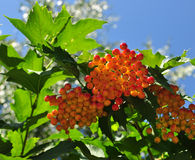 Berries of a guelder-rose (viburnum) Royalty Free Stock Photo