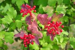 Berries of guelder-rose (Viburnum opulus) Stock Photography