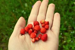 Berries in hand Royalty Free Stock Photos