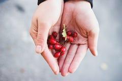 Berries in hands Stock Image