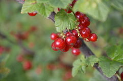 The berries hanging on a branch. stock image