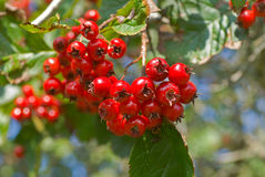 Berries of hawthorn 9 Royalty Free Stock Images