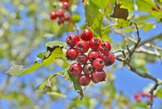 Berries of hawthorn 10 Royalty Free Stock Images