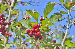 Berries of hawthorn 11 Royalty Free Stock Photos